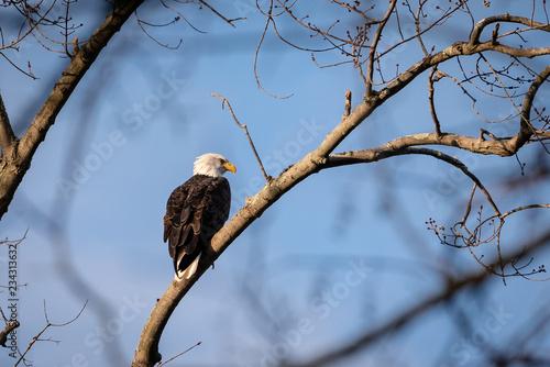 Photo Eagle on a Tree
