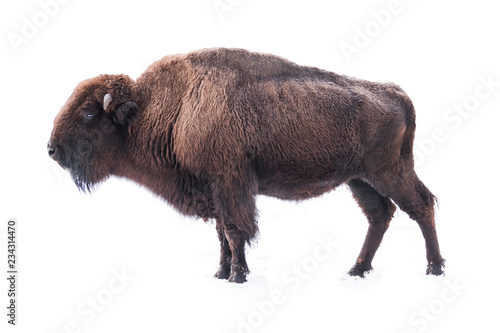 Photo sur Aluminium Bison bison american