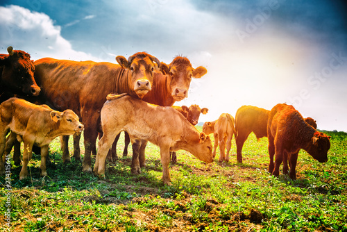 Cute little calfs grazing with cows