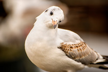 Black Headed Gull, Closeup