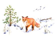 Walking Red Fox In Winter Sketch