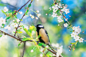 beautiful little bird tit sitting on a branch of cherry blossoms in may spring garden