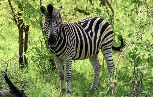 Tuinposter Zebra Zebra in der Wildnis