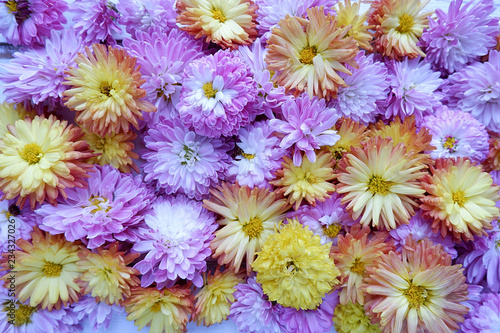 Foto op Canvas Bloemen Floral background, carpet of pink and yellow chrysanthemums