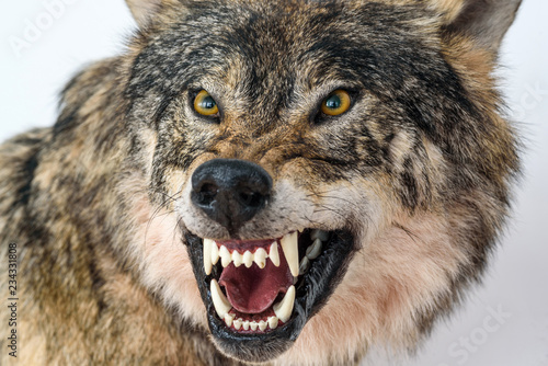 Aluminium Prints Wolf grin of a wolf close up