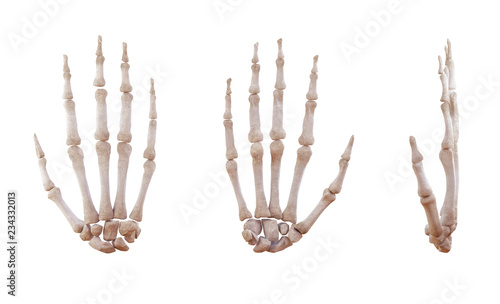 Fotografia, Obraz Human hand skeleton bones isolated on white, lateral and anterior projection