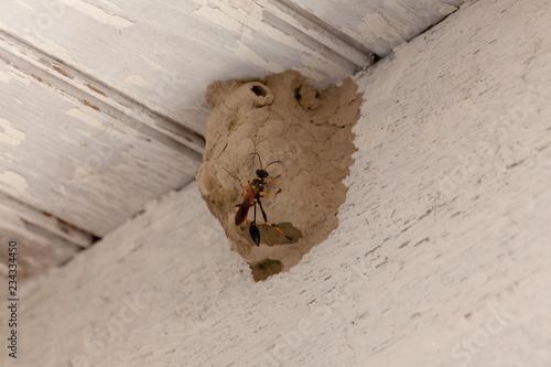Guêpe maçonne construisant un nid en terre Tapéta, Fotótapéta