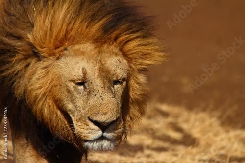 Fototapety, obrazy: Sad Lion