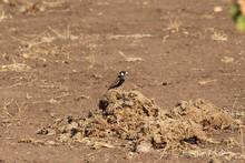 Chesnut-backed Sparrow-lark Al...