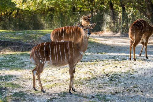 Poster Antelope Nyala - Tragelaphus angasi