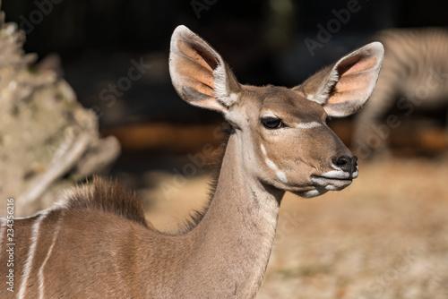 Garden Poster Antelope Kudu - Tragelaphus strepsiceros
