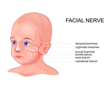 Schematic Anatomy Of The Facial Nerve