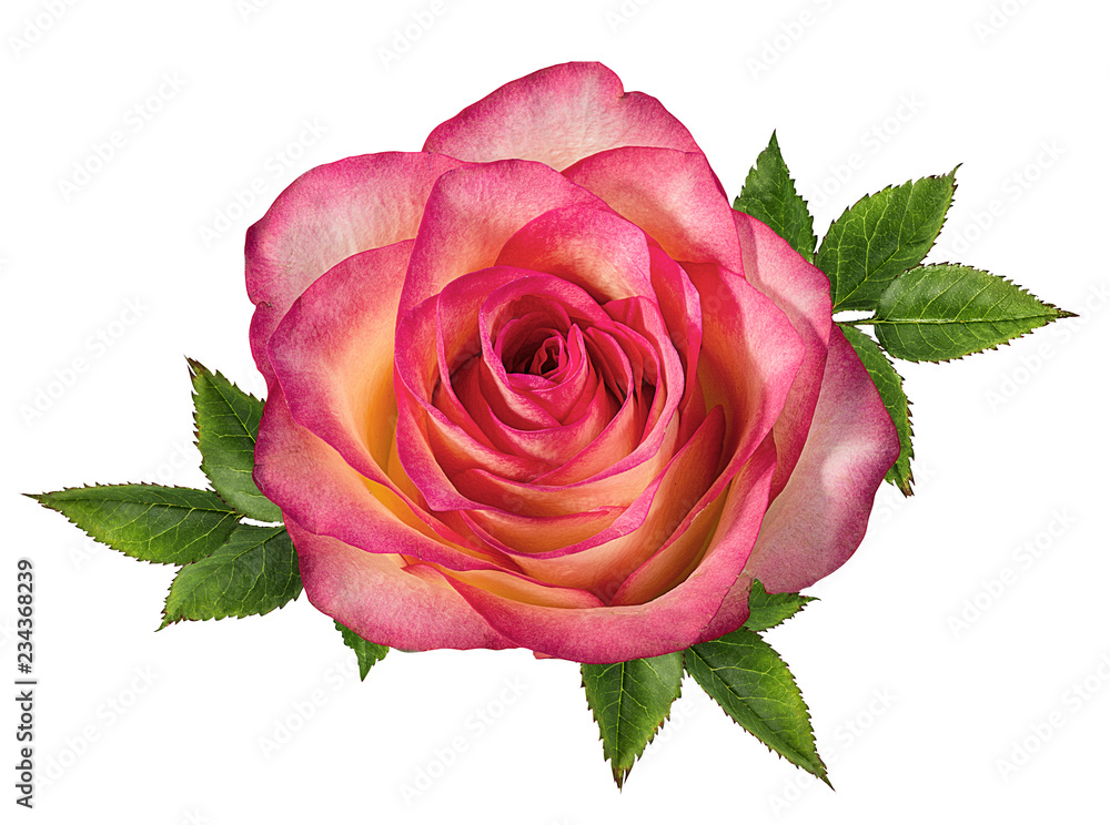 Fototapety, obrazy: Fresh beautiful rose isolated on white background with clipping path