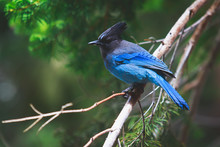 Portrait View Of Steller's Jay...