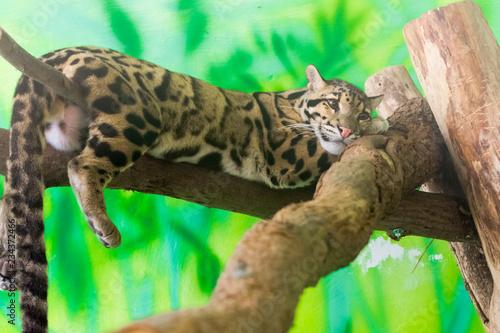 Fotografía Clouded leopard on a tree