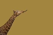 Portrait Of Isolated Giraffe S...