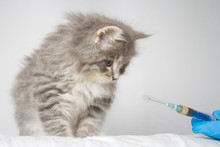 Veterinarian Giving Injection To Grey Persian Little Fluffy Maine Coon Kitte At Vet Clinic. Cat Looks To The Syringe. - Medicine, Pet, Animals, Vaccination And Allergy Concept.