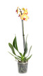 Beautiful tropical orchid flower in pot on white background