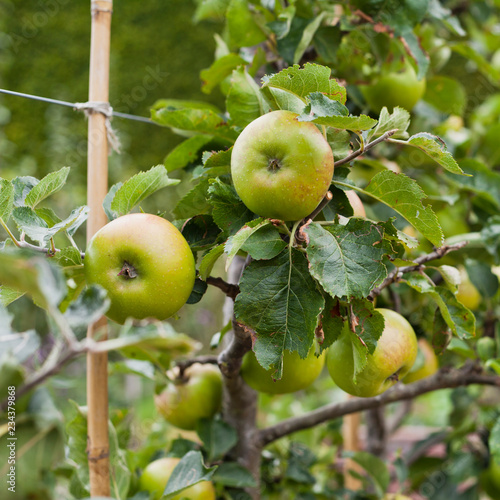 Photo Double Cordo apple tree with ripe fruit , ready for harvest -  organic permaculture farm