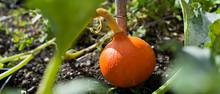 'Hokkaido', 'Red Hokkaido' Pumpkin Squash In The Farm Garden.