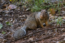 Squirrel On Yosemite National ...