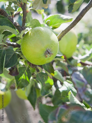 Alderman apple tree with ripe fruit , ready for harvest -  organic permaculture farm Canvas Print