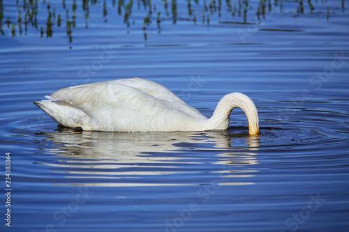 Fotografie, Obraz  Trumpeter swan feeding, Yellowstone National Park, Wyoming