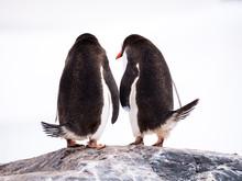 Rear View Of Two Gentoo Penguins, Pygoscelis Papua, Standing On Rock, Mikkelsen Harbour, Trinity Island, Antarctic Peninsula, Antarctica