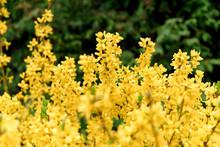 Yellow Forsythia Bush During Blossoming