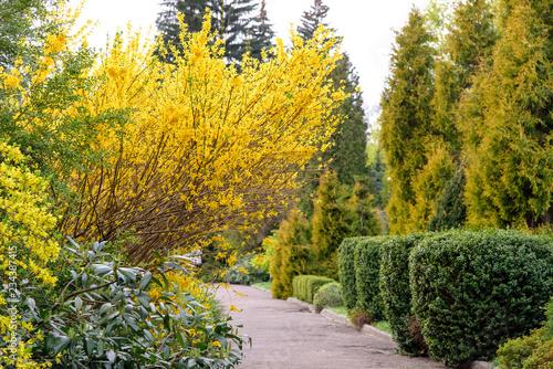 Fotomural yellow forsythia bush during blossoming