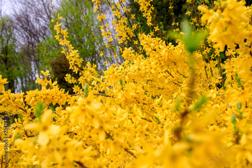yellow forsythia bush during blossoming Wallpaper Mural