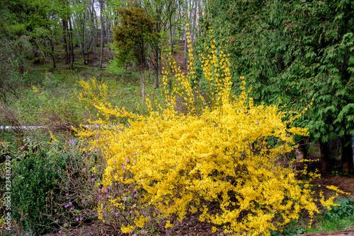 Fotografia, Obraz yellow forsythia bush during blossoming