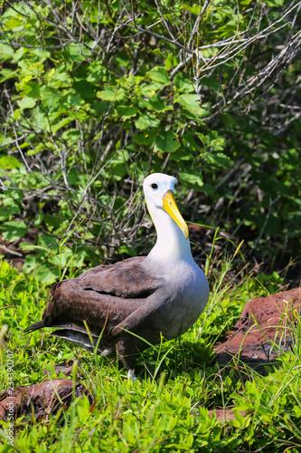 Valokuvatapetti Waved albatross on Espanola Island, Galapagos National park, Ecuador
