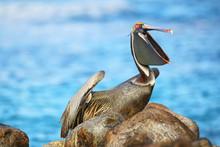 Brown Pelican On Espanola Island, Galapagos National Park, Ecuador