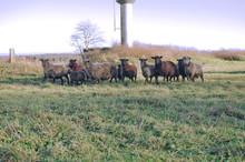 Multiple Herd Of Sheep Grazing...