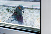 The Pigeon Outside The Window. Dove In Winter Sits On The Windowsill And Looks Out The Window.