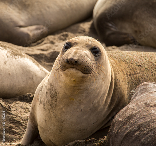 Photo  seal on the beach - pacific ocean - california highway 1