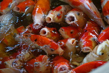 Koi Fish Swimming In The Pond. Koi Fish Waiting For Food. Photo Is Not In Focus.