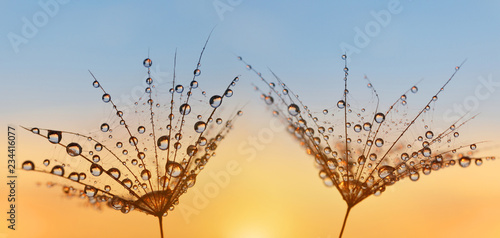 Obraz Water drops on a dandelion seeds close up. Morning dew at sunrise. Nature background. - fototapety do salonu