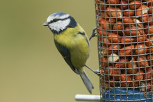 A Beautiful Blue Tit (Cyaniste...