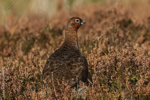 Fototapeta A stunning Red Grouse (Lagopus lagopus) standing amongst the heather in the highlands of Scotland.	 obraz