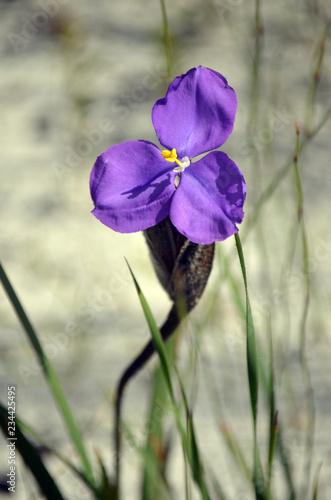 Australian native silky purple flag iris wildflower, Patersonia sericea, family Iridaceae, flowering in spring, Royal National Park, Sydney, NSW, Australia