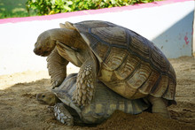 Two Adult Turtles Breeding On ...