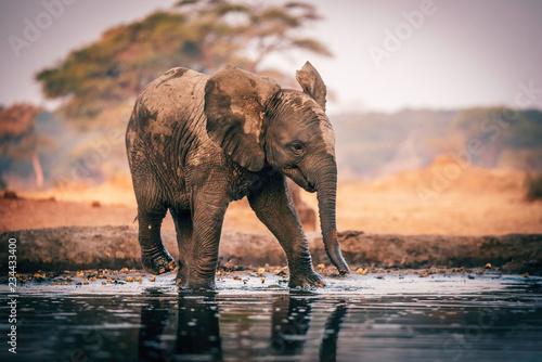 Obraz na płótnie Elefantenbaby am Wasserloch, Senyati Safari Camp, Botswana