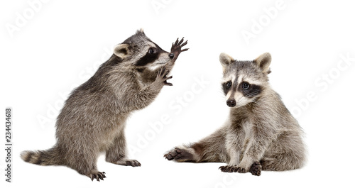 Two funny raccoons isolated on white background