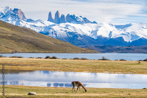 Tablou Canvas Llama feeding on grass at Torres del Paine in Chile