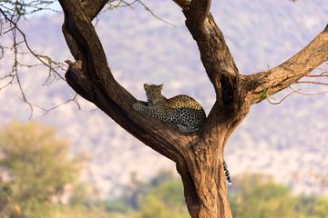 Gepard auf Baum