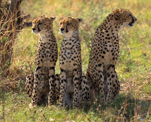 Drei Geparden, Massai Mara