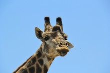 Frontal Picture Of The Face Of A Giraffe With Its Tongue Hanging Out Looking Into The Camera, Kruger Park, South Africa. Funny Animal Portrait Of A Giraffe With Copy Space And Space For Text.