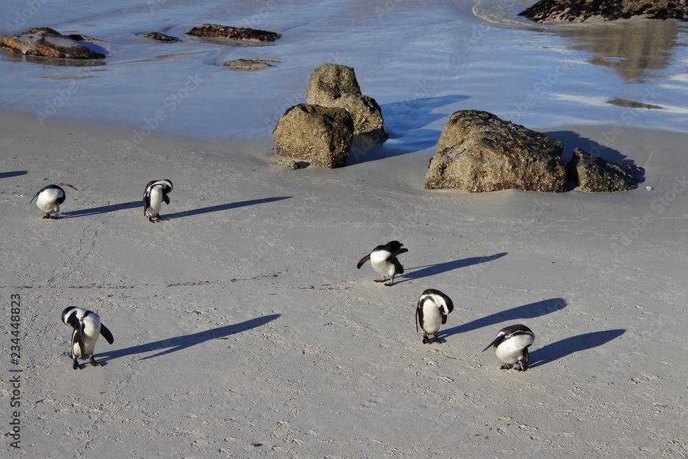 Eine Gruppe Brillenpinguine bei der Körperpflege am Strand in Boulders Beach in Südafrika